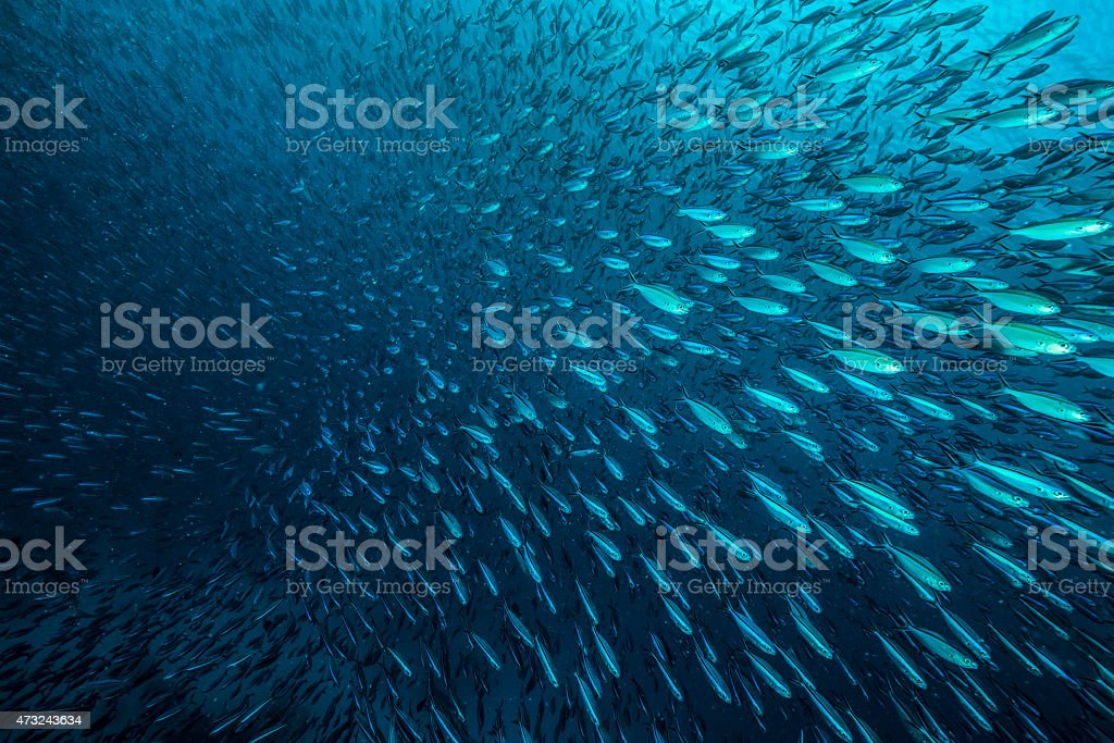 School of Fishes -Palau stock photo
