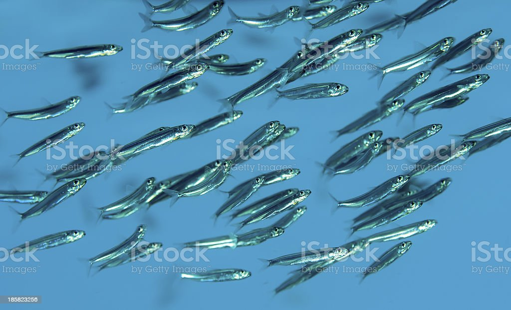 School of fishes royalty-free stock photo