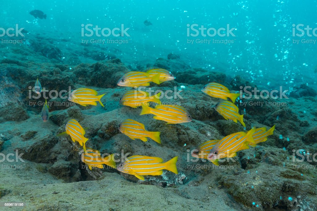 school of five-lined snapper, blue-striped snapper, blue-banded sea perch background has a bubble of active volcanic vents that emit sulphurous gases and lies close to an active subduction zone. Pulau Weh , Banda Aceh , Indonesia stock photo