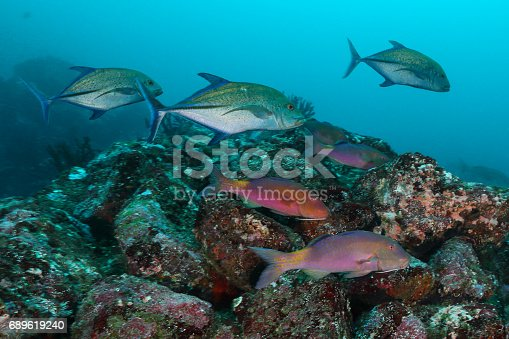 School of Goat Fish with Jack Fish , Pulah Weh , Banda aceh , Indonesia