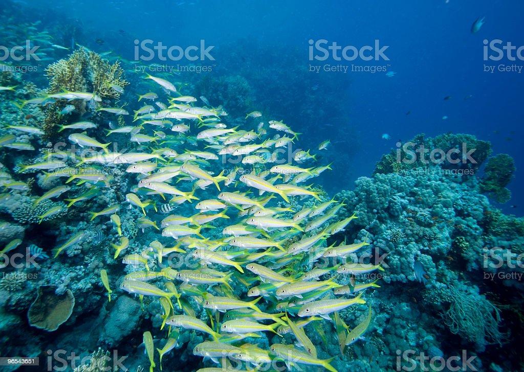 Ławica Goatfish zbiór zdjęć royalty-free