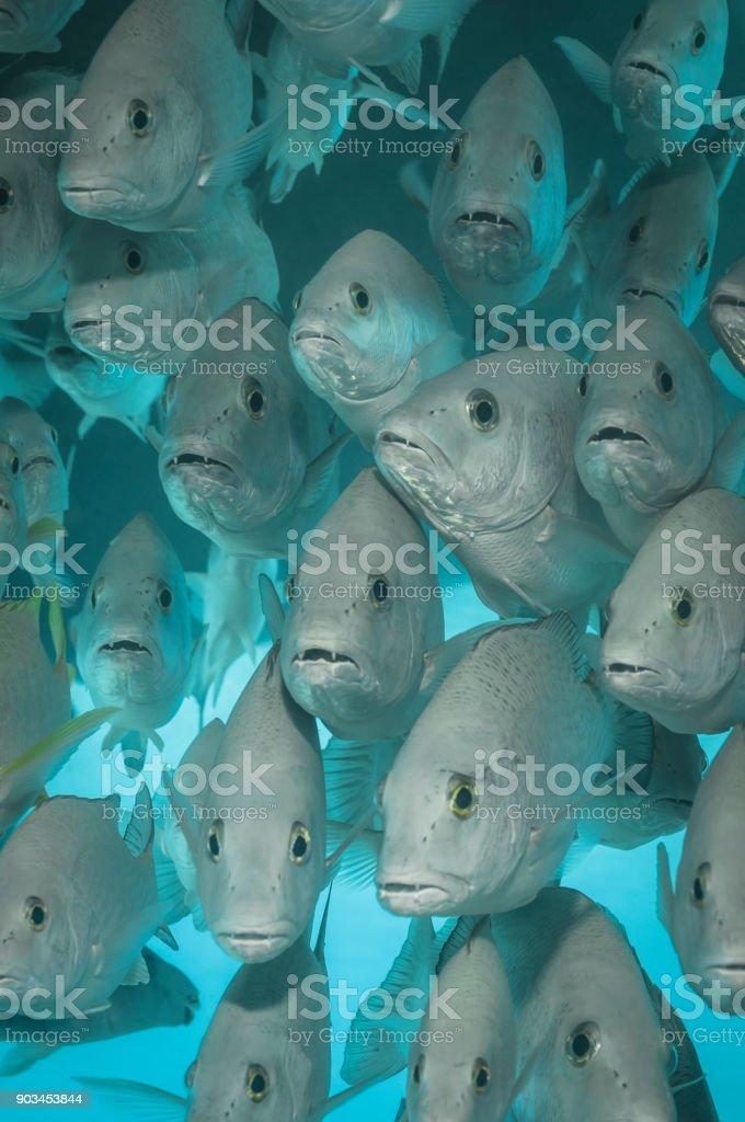 School of grunt fish stock photo