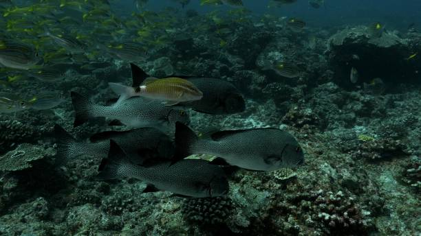 School of Harlequin sweetlips swimming at undersea reef stock photo