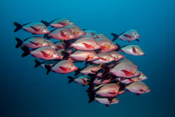School of Humpback Snapper fish swimming in open water together. stock photo