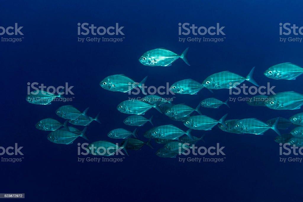 School of Jack fish in Palau, Micronesia stock photo