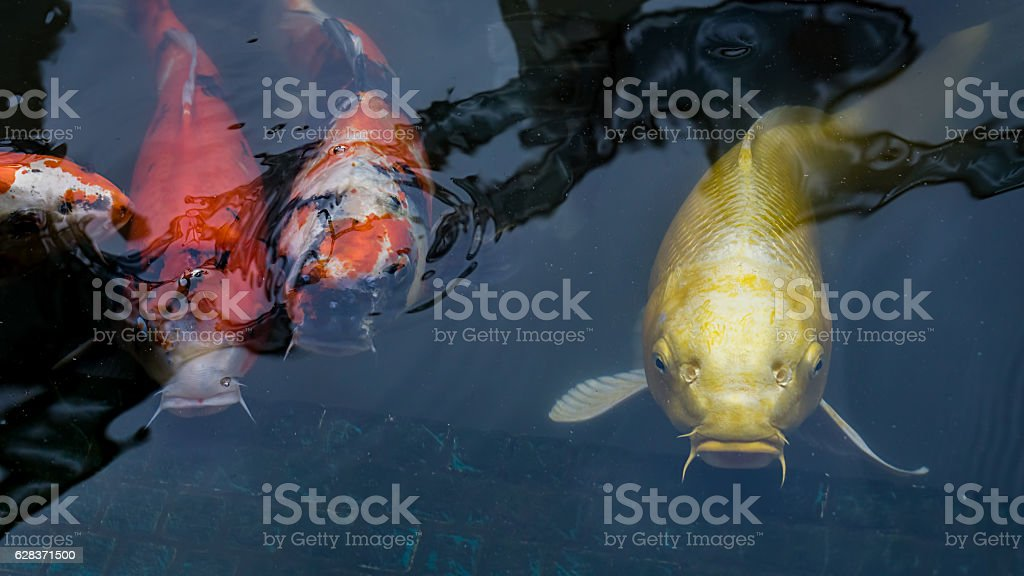 School of Japanese Koi carps stock photo