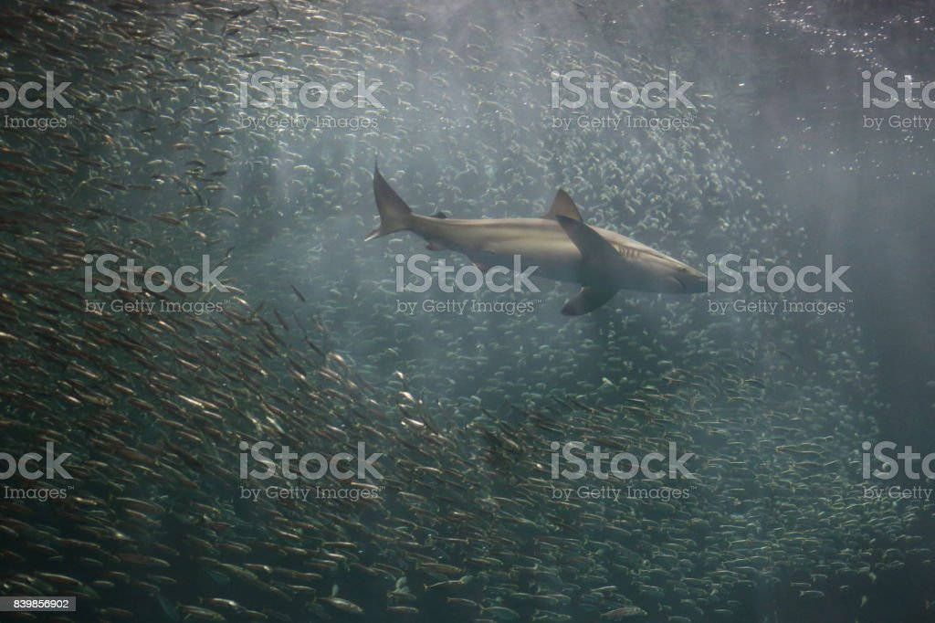 A School Of Japanese Sardine Or Japanese Pilchard And Shark Stock Photo Download Image Now Istock