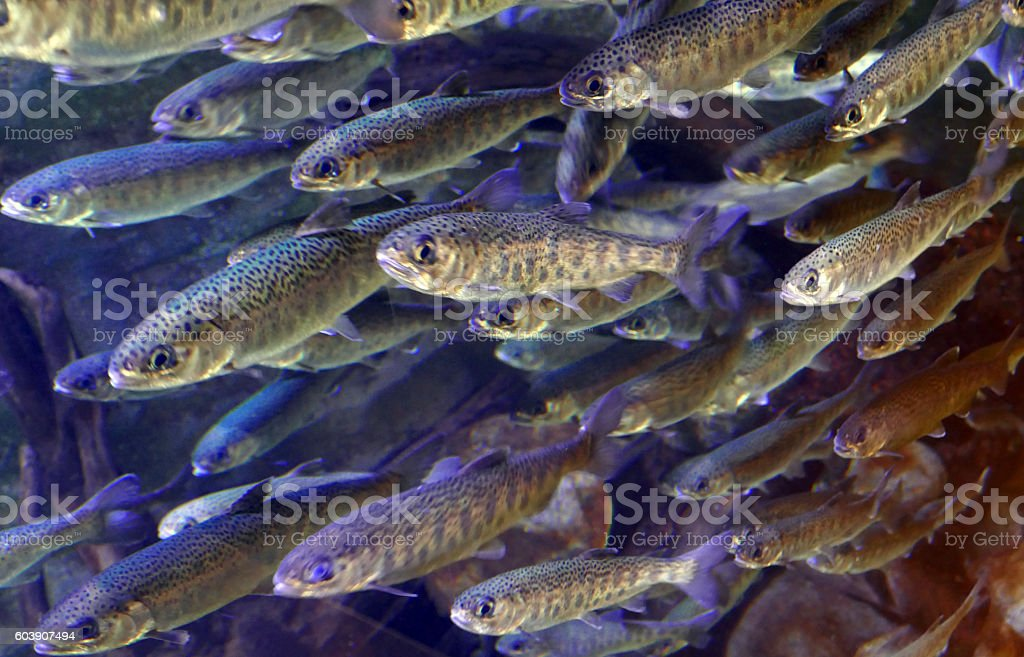 School of Juvenile Coho Salmon stock photo