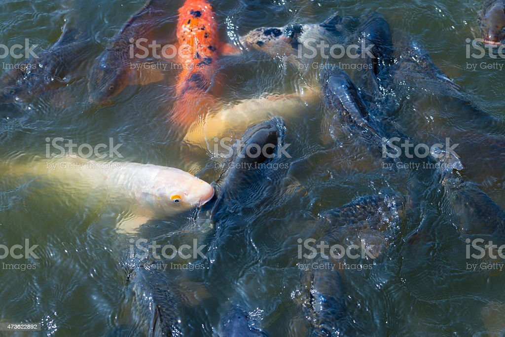 School of Koi Fish stock photo