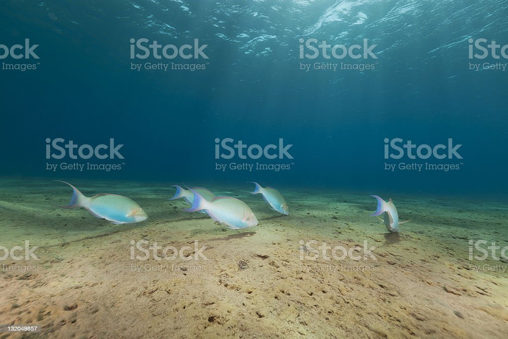 School of parrotfish in the Red Sea. royalty-free stock photo