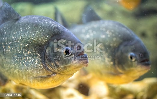 istock School of predatory piranhas in a freshwater aquarium 1286314810
