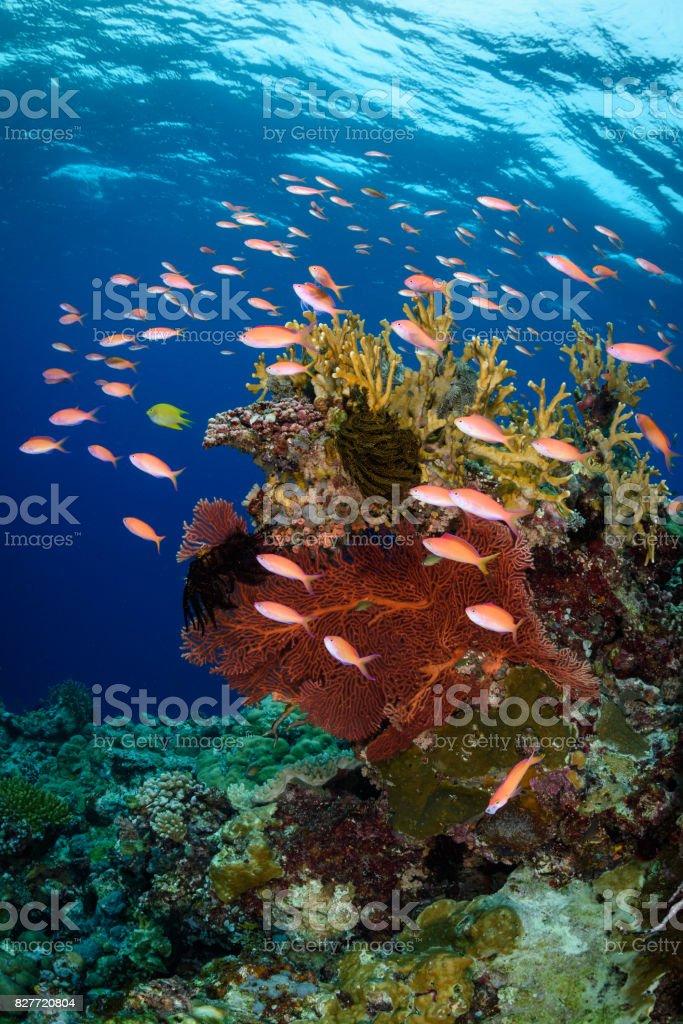 School of Redfin Anthias stock photo