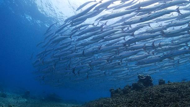 School of sawtooth barracudas stock photo