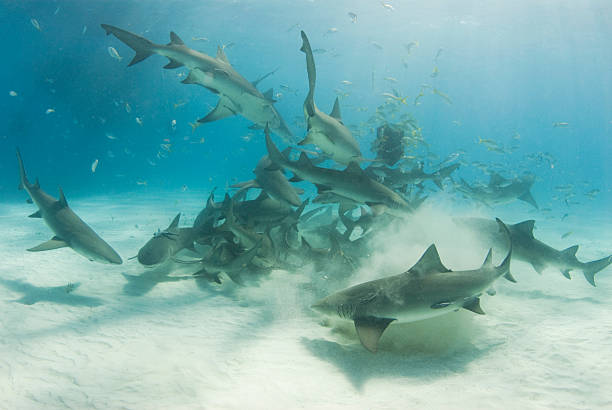 School of Scavenging Lemon Sharks A school of lemon sharks (Negaprion brevirostris) stir up the white bottom as they scavenge for their share of food. feeding frenzy stock pictures, royalty-free photos & images