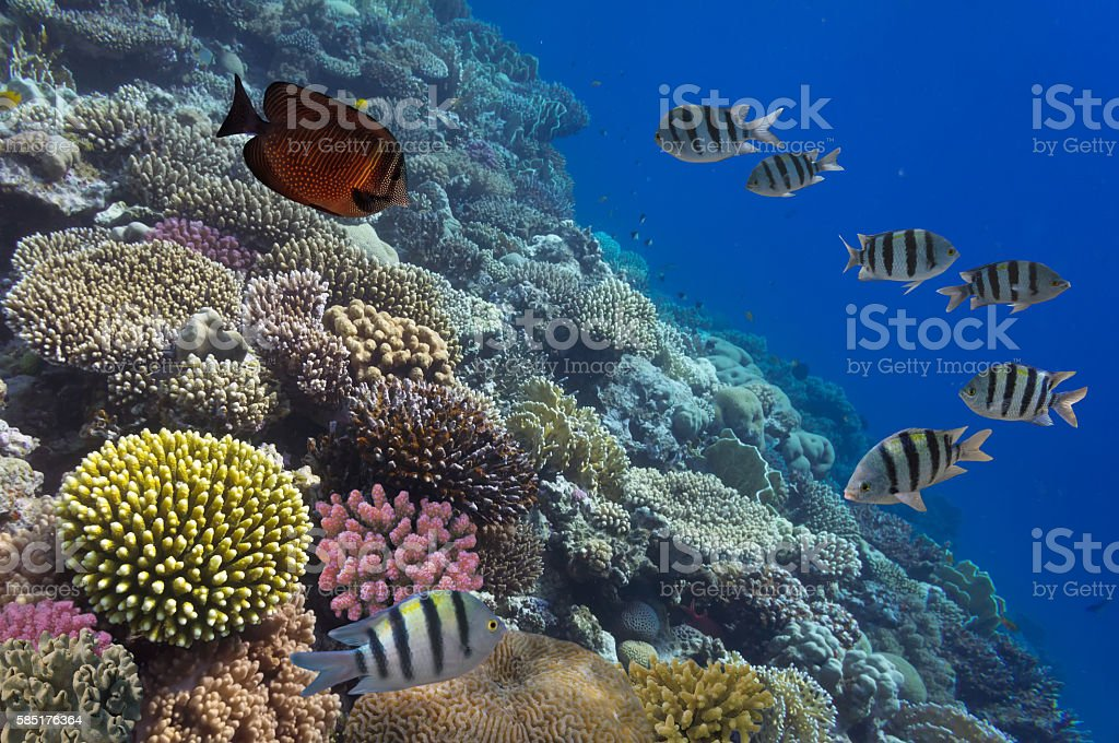 School of Sergeant-major, red Sea, Egypt stock photo