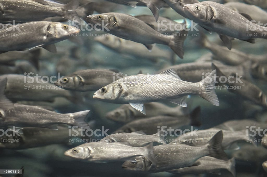 School of Silver Gray Fish stock photo