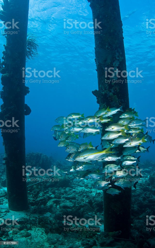 School Of Snapper royalty-free stock photo