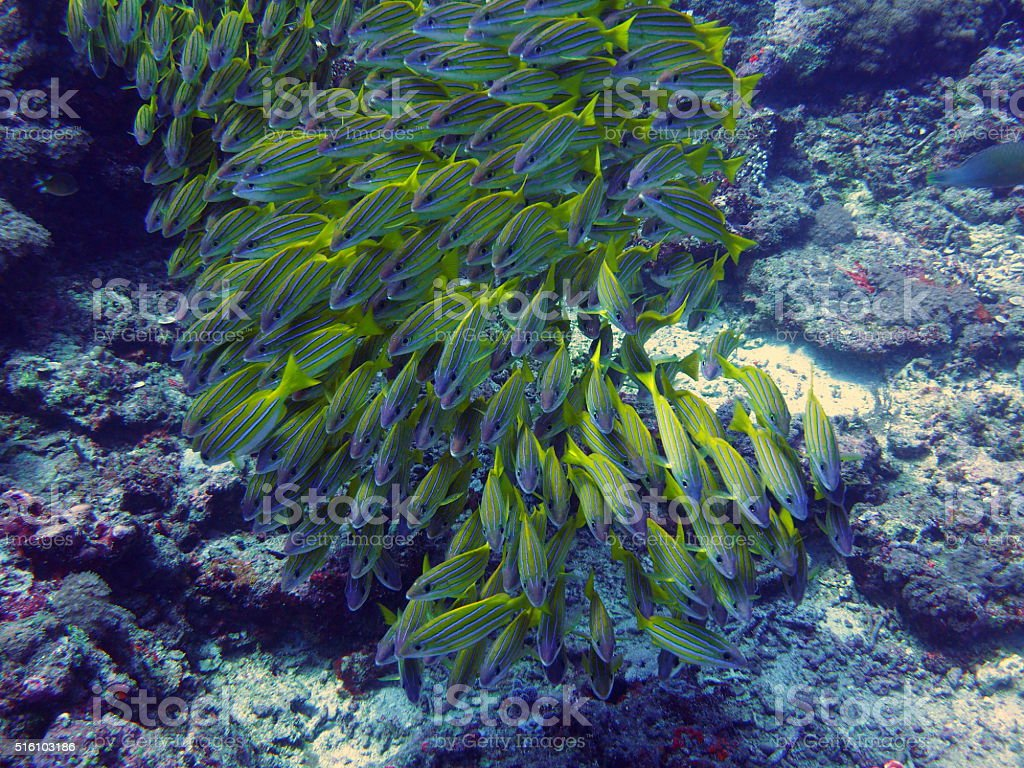 School of snappers at the gili islands stock photo