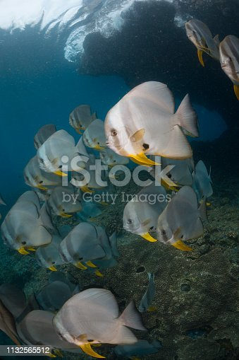 A large school of spade fish swim into the current and are brightly lit.