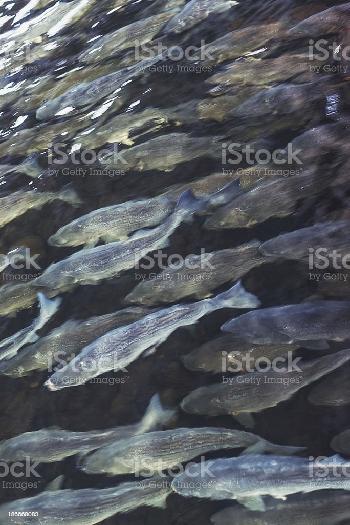 School of Striped Bass royalty-free stock photo