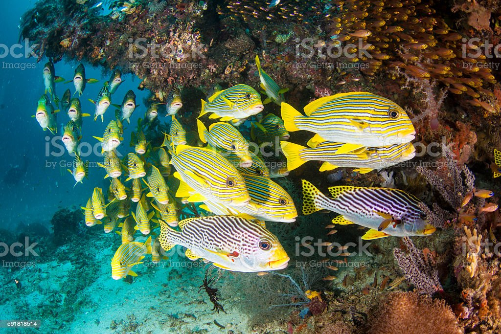 School of Striped Sweetlips stock photo