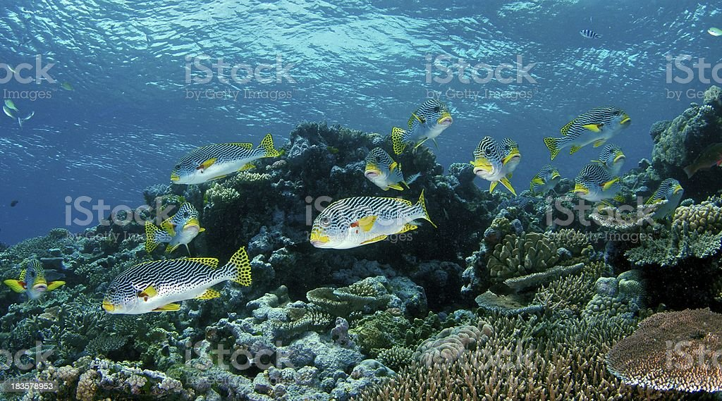 School of Sweet Lips Fish in Great Barrier Reef, Australia stock photo