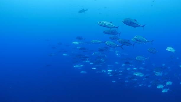 School of Trevally Jack fish swimming close to camera stock photo