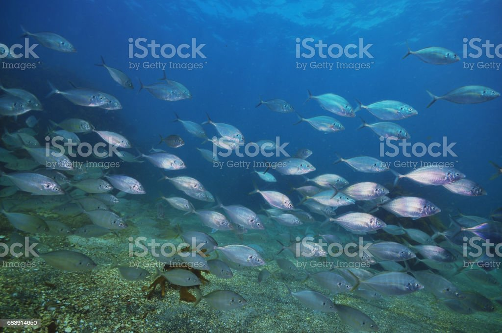 School of trevally stock photo