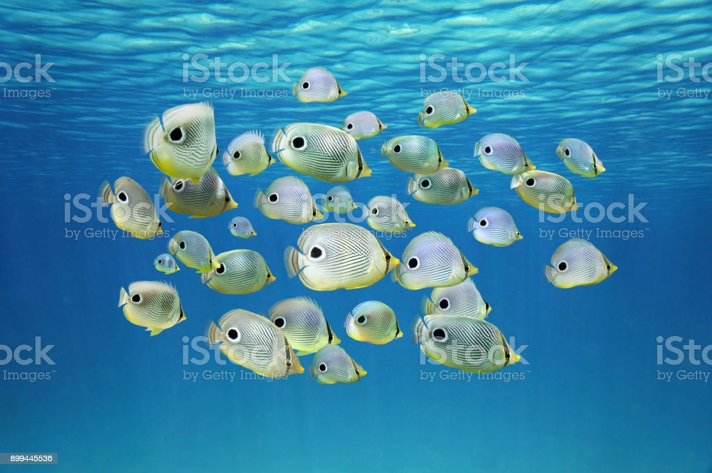 School of tropical fish Four-eyed Butterflyfish stock photo