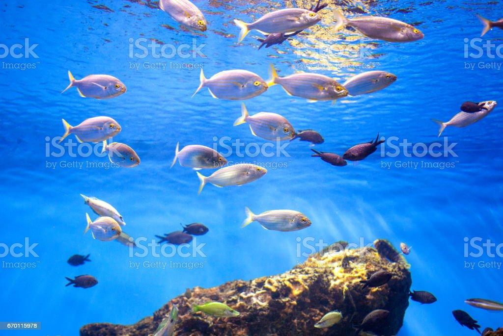 School of Tuna Fish in the Sea. stock photo
