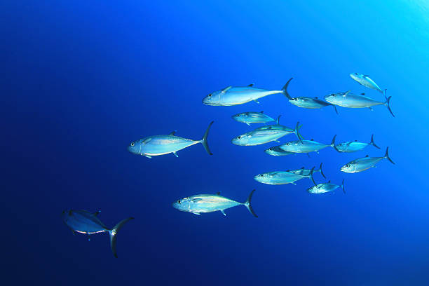 School of Tuna  tuna animal stock pictures, royalty-free photos & images