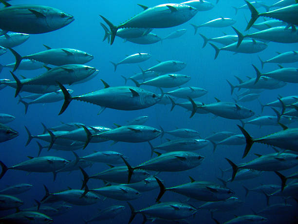 School of tuna School of tuna swimming in a tuna trap tuna animal stock pictures, royalty-free photos & images