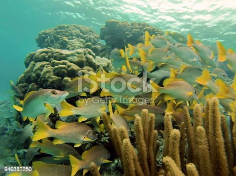 School of yellow and silver fish swimming in soft coral in the Caribbean Sea off the coast of Ambergris Key, Belize