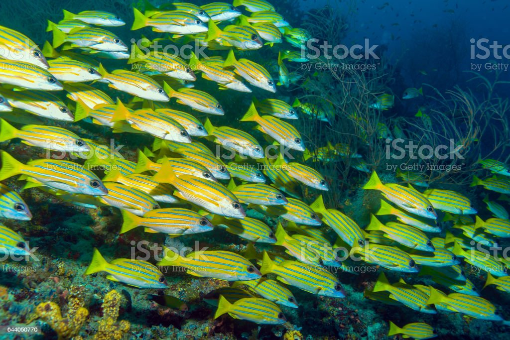 School of Yellow Fishes, Maldives stock photo