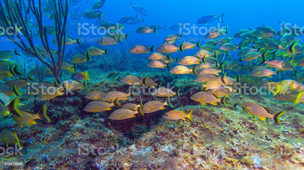 School of Yellow Fishes stock photo