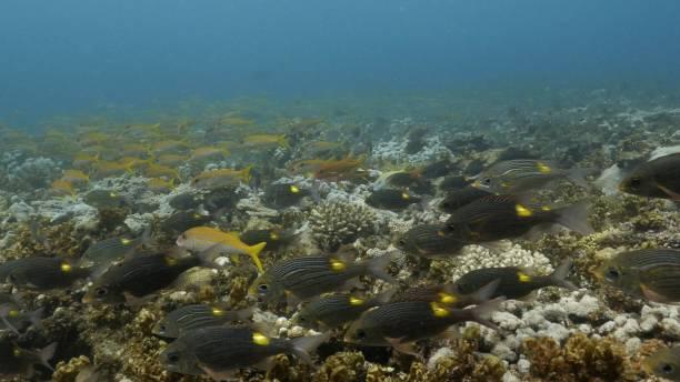 School of yellow goatfish and goldspot seabream fish swimming undersea in Japan stock photo