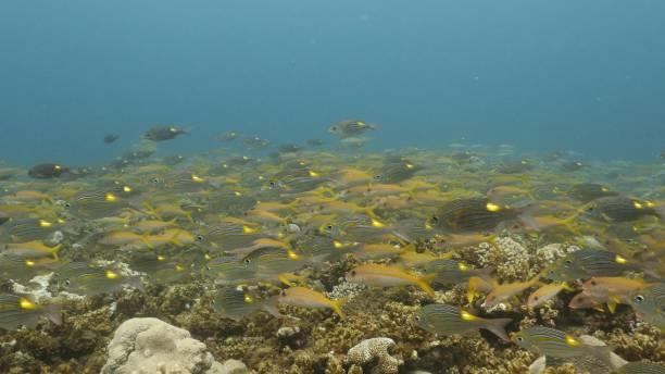 School of yellow goatfish and goldspot seabream fish undersea in Japan stock photo