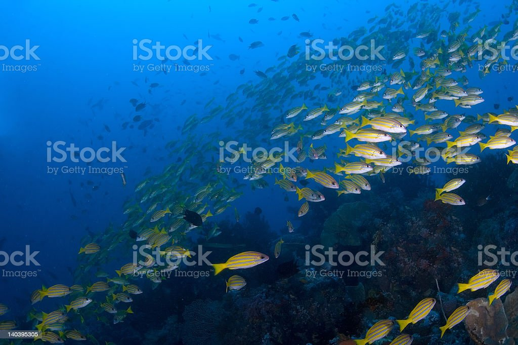 School of yellow snappers over reef. royalty-free stock photo
