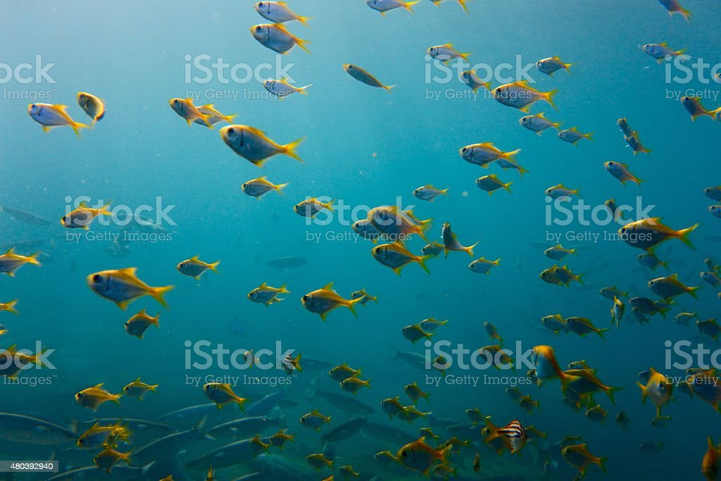 School of yellow tail fish swiming right to left stock photo