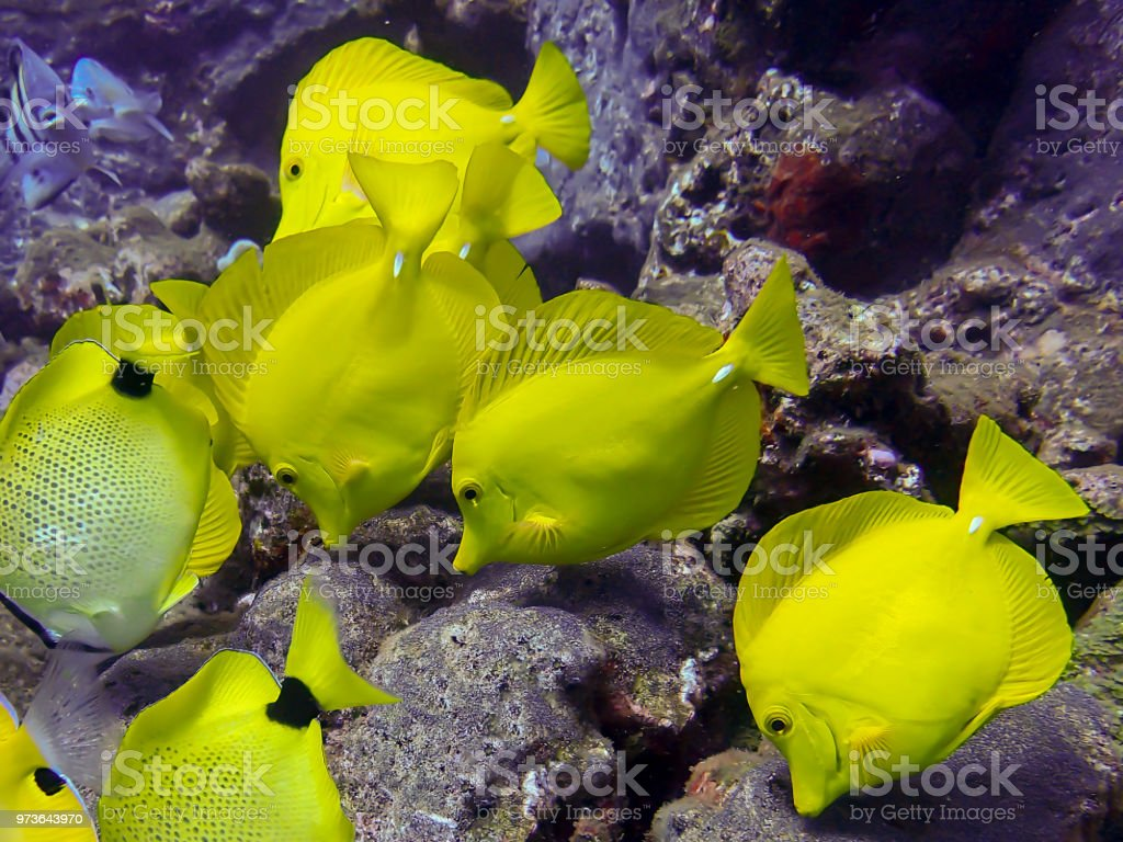 School of Yellow Tang Tropical Fish Close Up stock photo