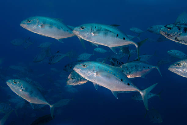 A school of Yellow-dotted trevally fish stock photo