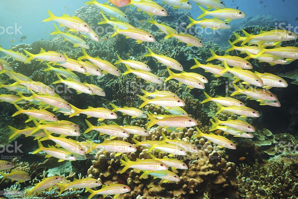 School of Yellowfin goatfish royalty-free stock photo