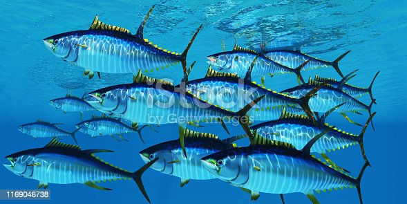 Yellowfin tuna fish swim in large groups looking for their prey such as large schools of ocean herring fish.