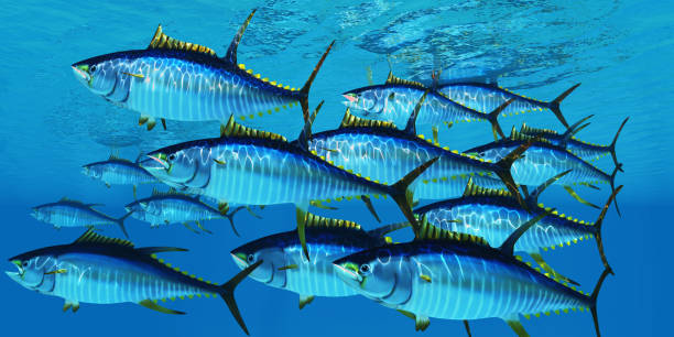 School of Yellowfin Tuna stock photo