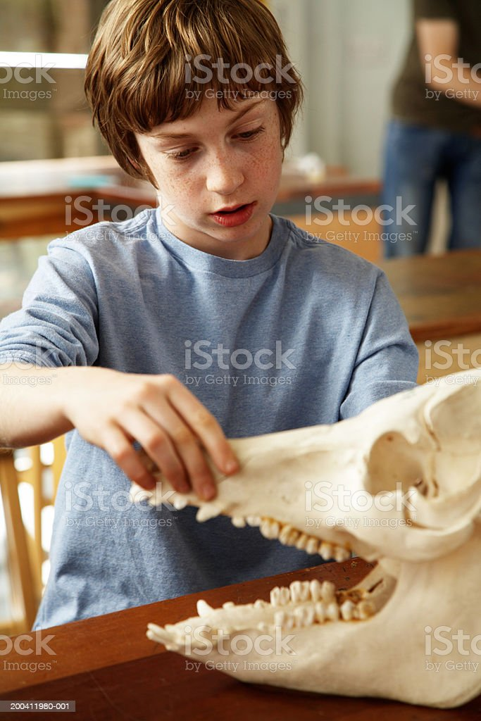 Schoolboy (11-13) in classroom opening jaws of model animal skull stock photo