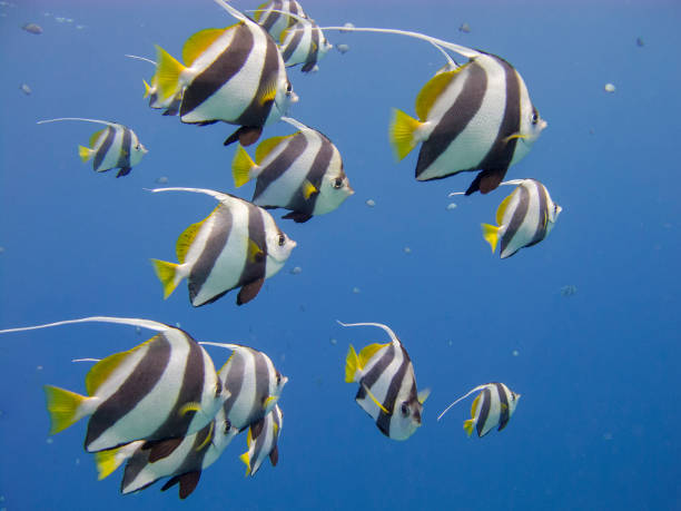 Schooling bannerfish in a clear blue sea. stock photo