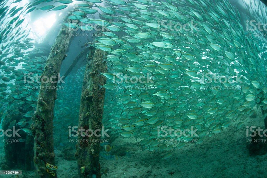 Schooling Fish Below Pier stock photo