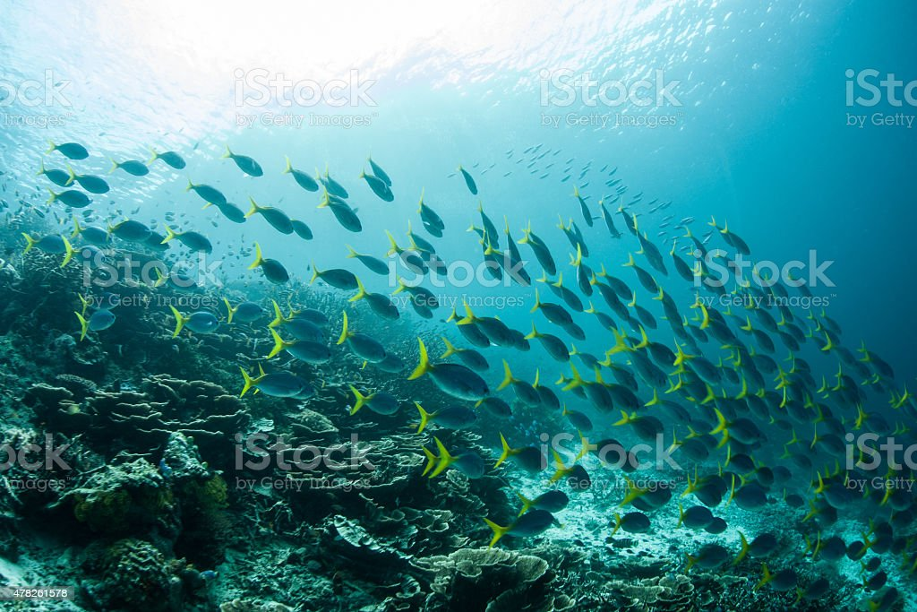 Schooling Fusiliers on Coral Reef stock photo