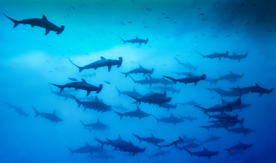 A stunning image of Schooling Hammerhead Sharks that congregate in large numbers of Malpelo and Cocos Islands