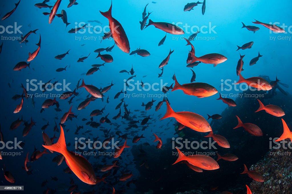 Schooling Pacific Creolefish stock photo